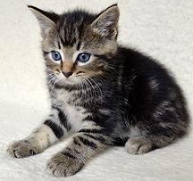 tabby-kitten-8-weeks-old-55d85240e6aa2.j