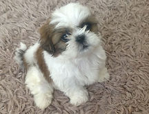 shih-tzu-puppies-8-weeks-old-ready-now-5