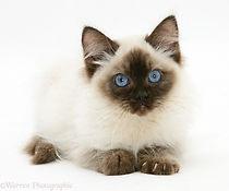 18463-Ragdoll-kitten-12-weeks-old-white-