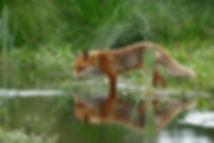 fox-1540833_1280.jpg