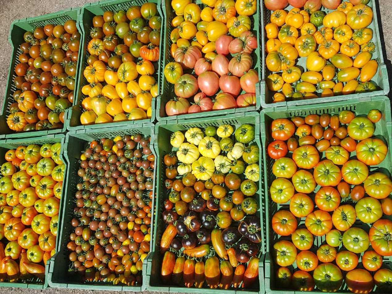 Des tomates, on en voit de toutes les couleurs