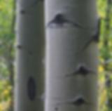 Aspen bark.png