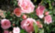 Nahaufnahme von rosa Rosen