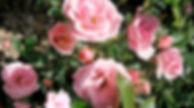 Close Up of Pink Roses