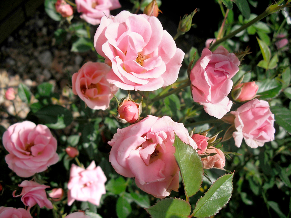 Pink rose bush in bloom
