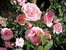 特寫粉紅玫瑰