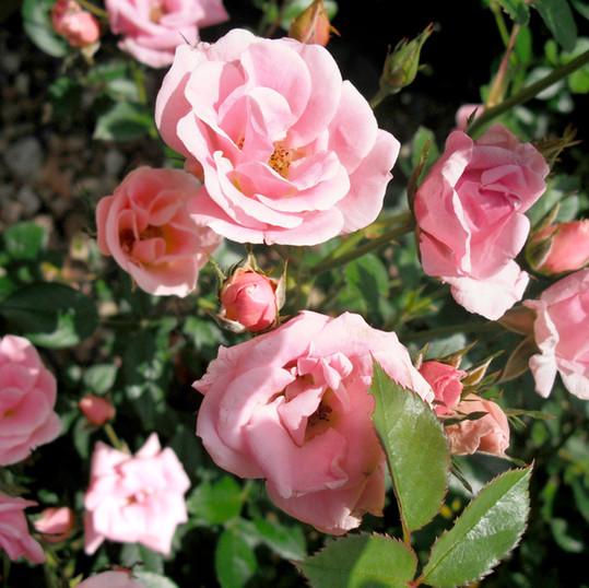 Primer plano de rosas rosadas