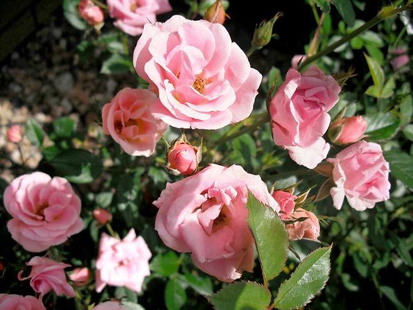 Närbild av rosa ros