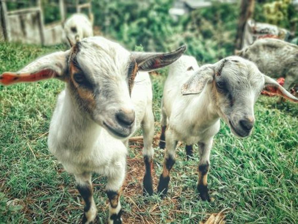 goats- 20180319001