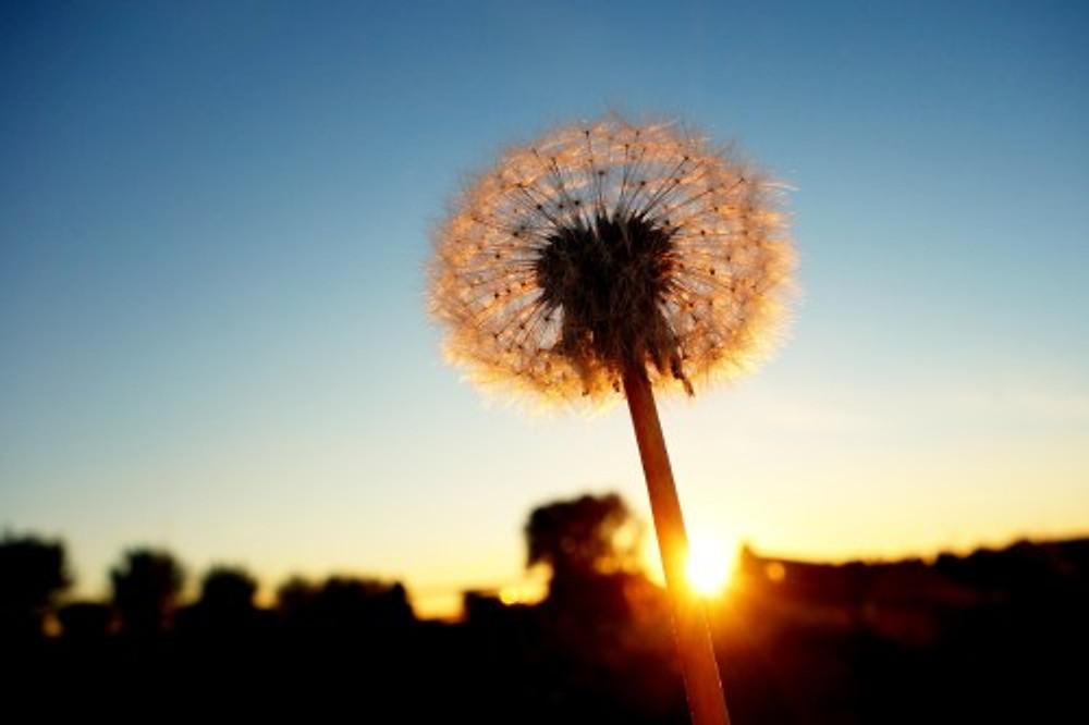 Dandelion | Image courtesy of Pixabay.