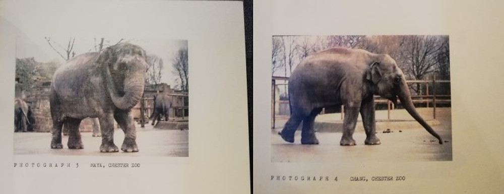 Photos of elephants at Chester Zoo that I took during research.