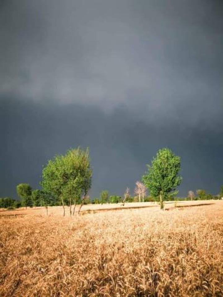 My wheat fields shining under dark clouds.
