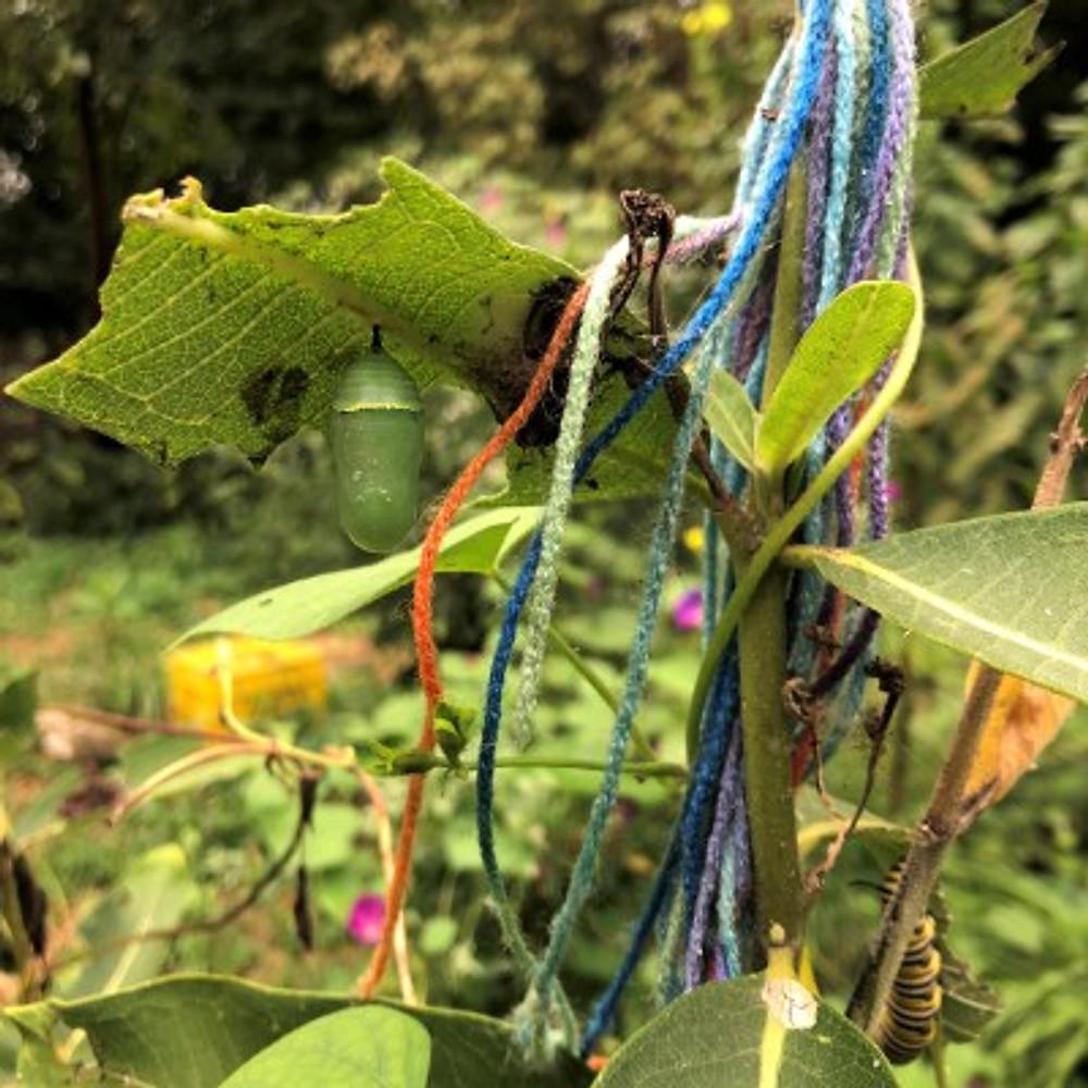 A monarch chrysalis in Joanne's garden.
