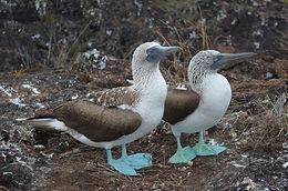 Véga_oiseaux-marins