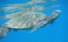 Véga-TortueMer-v2.jpg