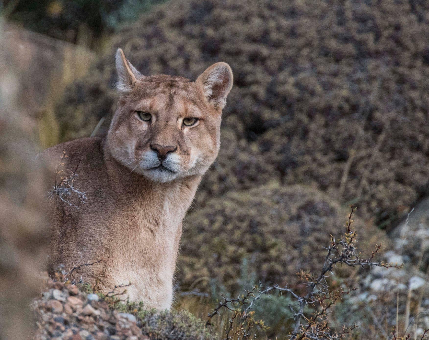 Puma patagonico
