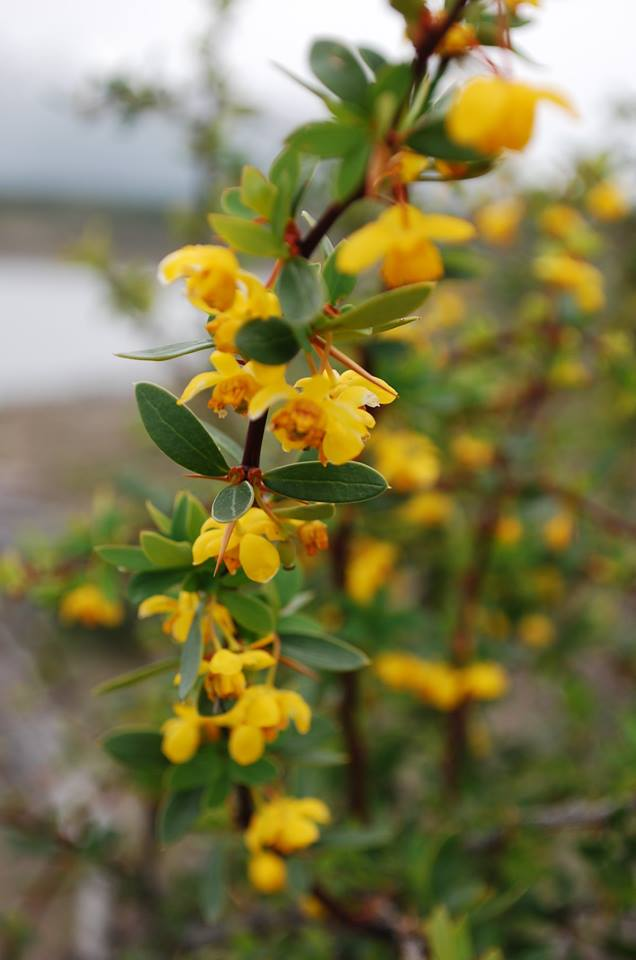 Flor de  Calafate