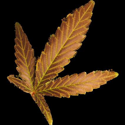 Hemp Leaf.PNG