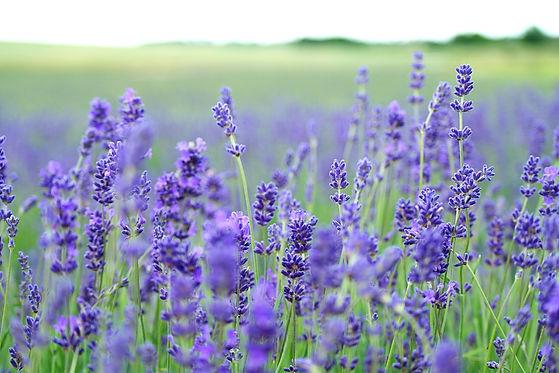 CBD Lavender