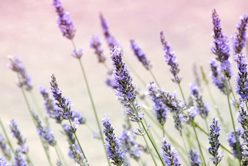 Lavender CBD Field.jpg