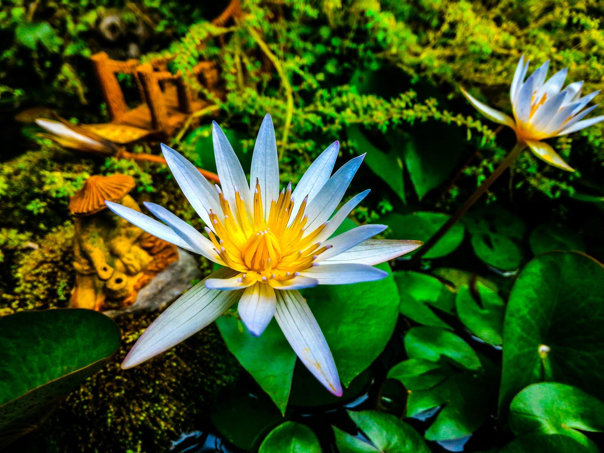 aquatic-plant-beautiful-bloom-724117