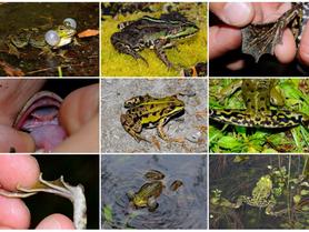 Formation sur les grenouilles vertes