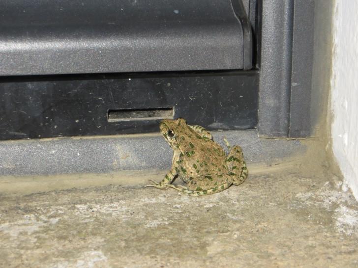 Pélodyte ponctué… sur le pas de la porte !