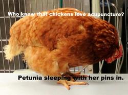 Sleeping Chicken acupunct