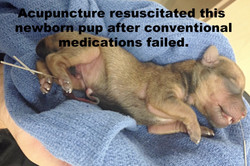 Puppy who lived acupuct_edited_edited_ed