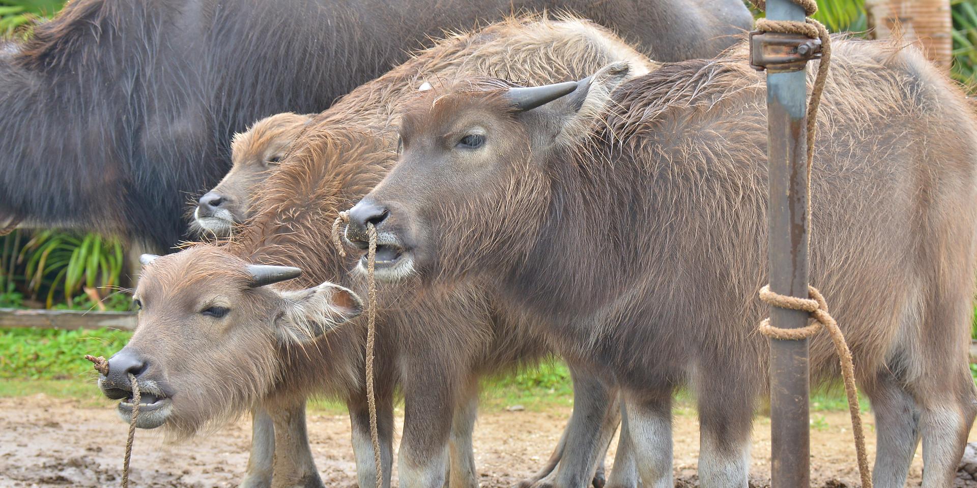 水牛(由布島)