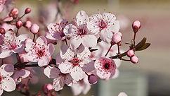 cherry-plum-cerasifera.jpg