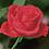 Thumbnail: Diamond Dotz Rose Bud