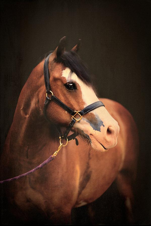 horse portraits, equine photography
