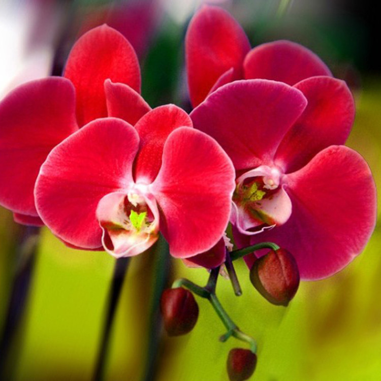 Unique-font-b-Red-b-font-Phalaenopsis-Bonsai-Butterfly-font-b-Orchid-b-font-Flower-Seeds