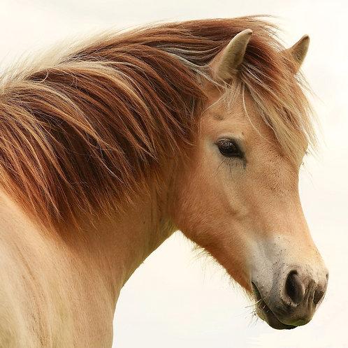 Horse Confidence