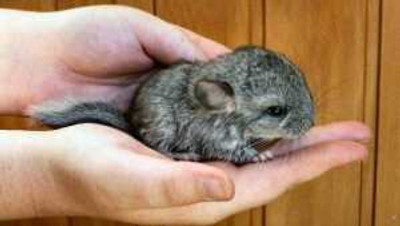 baby-chinchilla