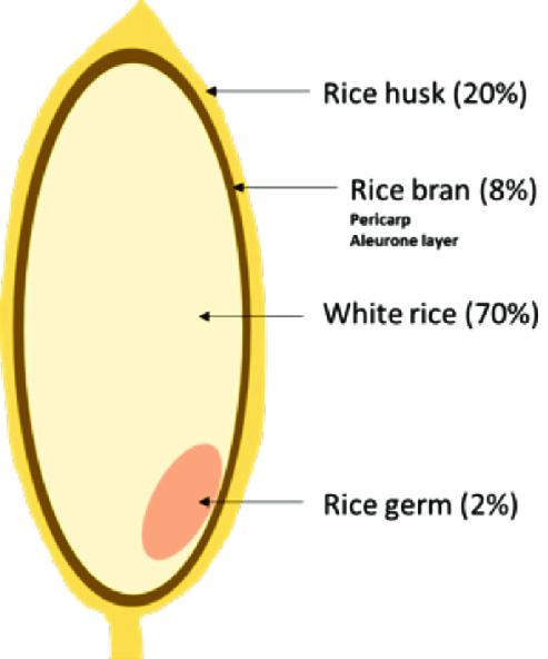 Ryžio sandara
