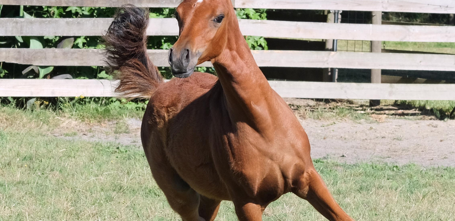 2019 filly by Ulysium imp USA