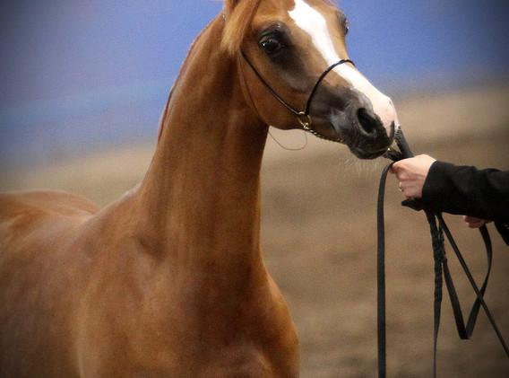 Bella Bellezza W Champion Arabian Extravaganza
