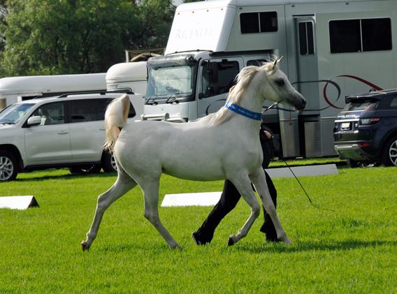 Pshamala W, Supreme Champion Barastoc Horse show 1yo