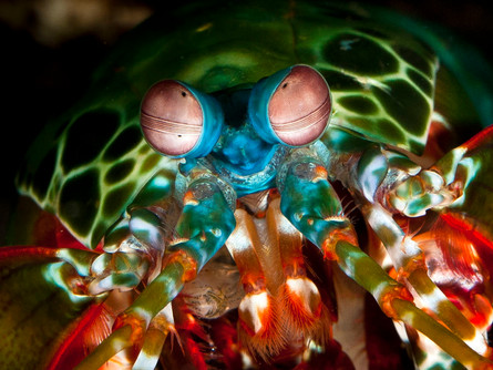 Warning: NOT FOR THE FAINT HEARTED: MANTIS SHRIMP