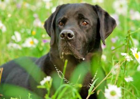 La Leishmaniosi canina in Piemonte