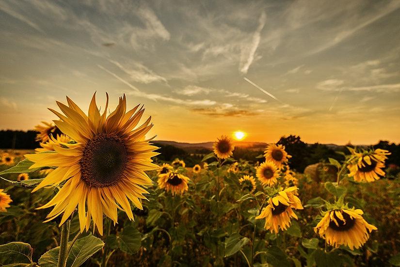 PrintPhotos Sunflower 04