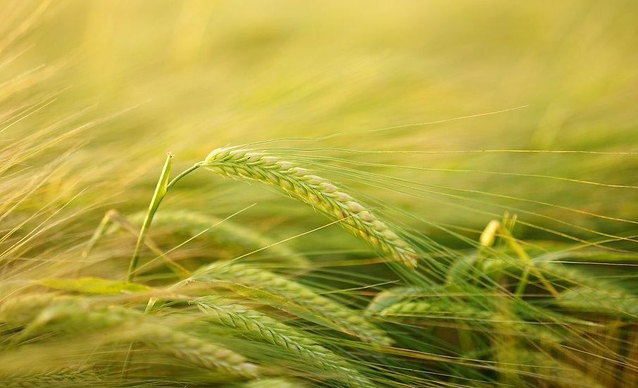 PrintPhotos Barley 01