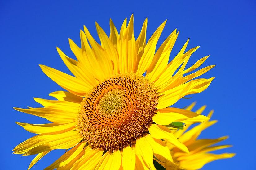 PrintPhotos Sunflower 03