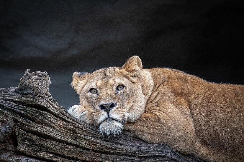 PrintPhotos Lioness 01