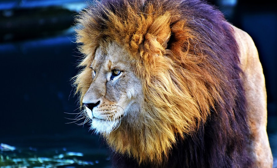PrintPhotos Lion 01