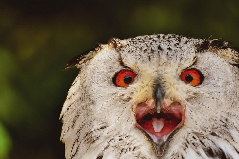 PrintPhotos Owl 01