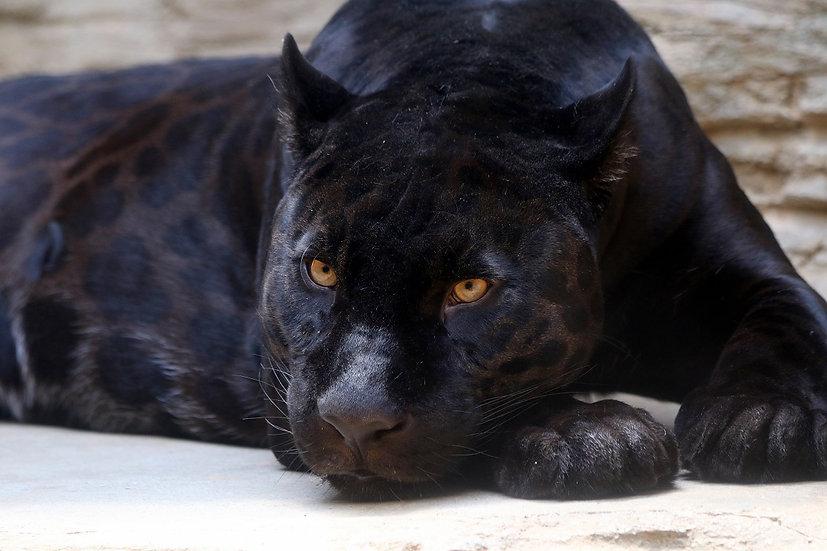 PrintPhotos Black Panther 01