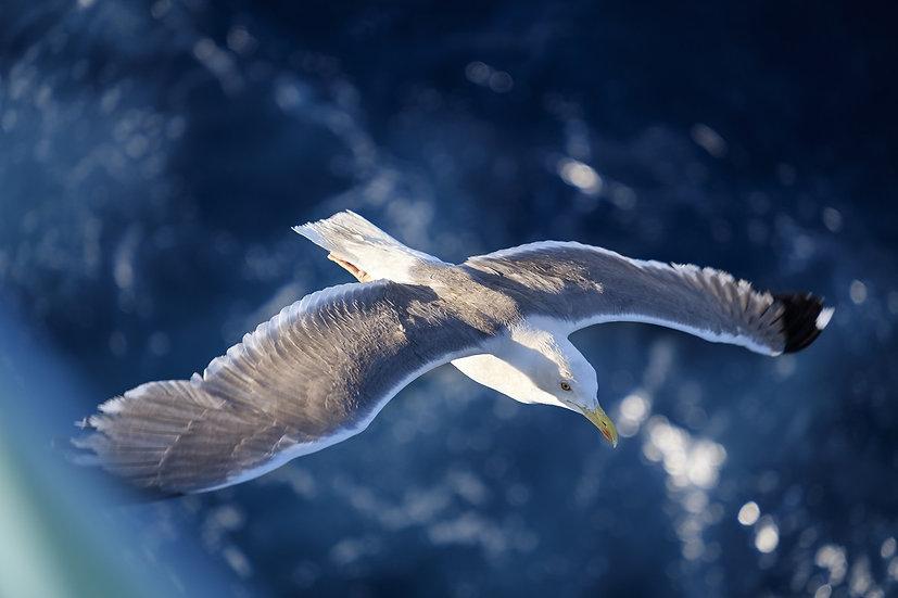 PrintPhotos Seagull 01